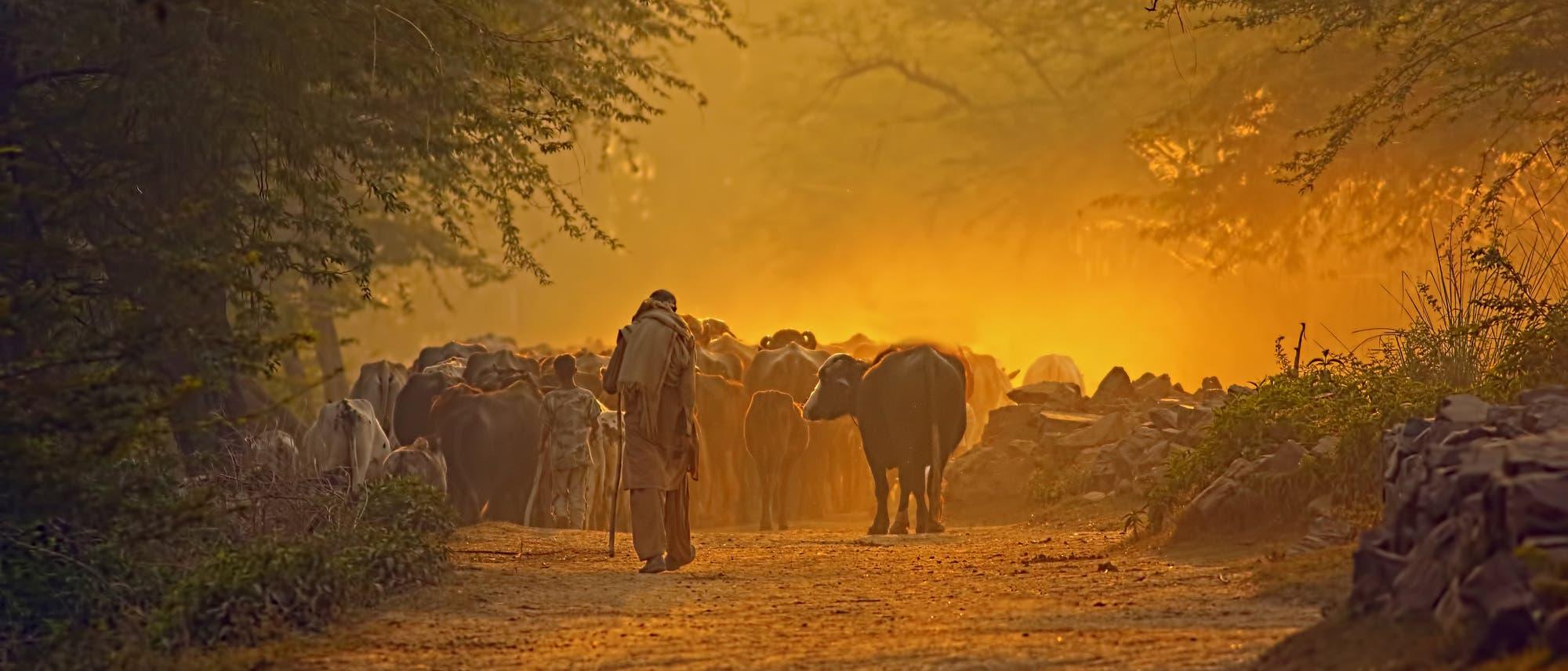 Hirte mit Rinderherde