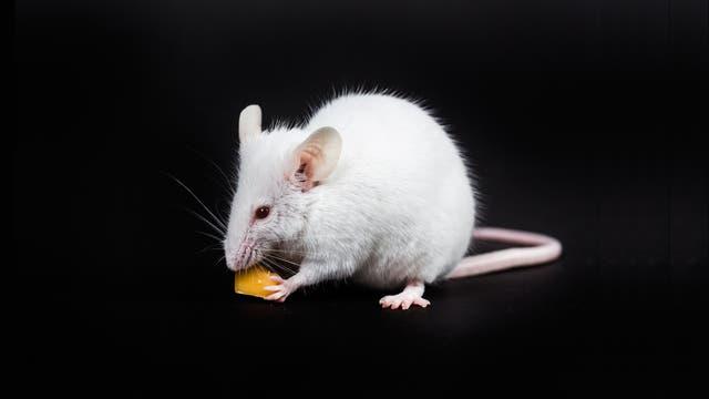 Maus frisst Käse