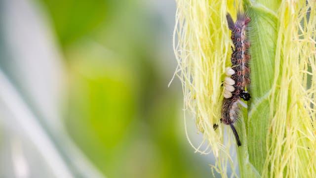spodoptera