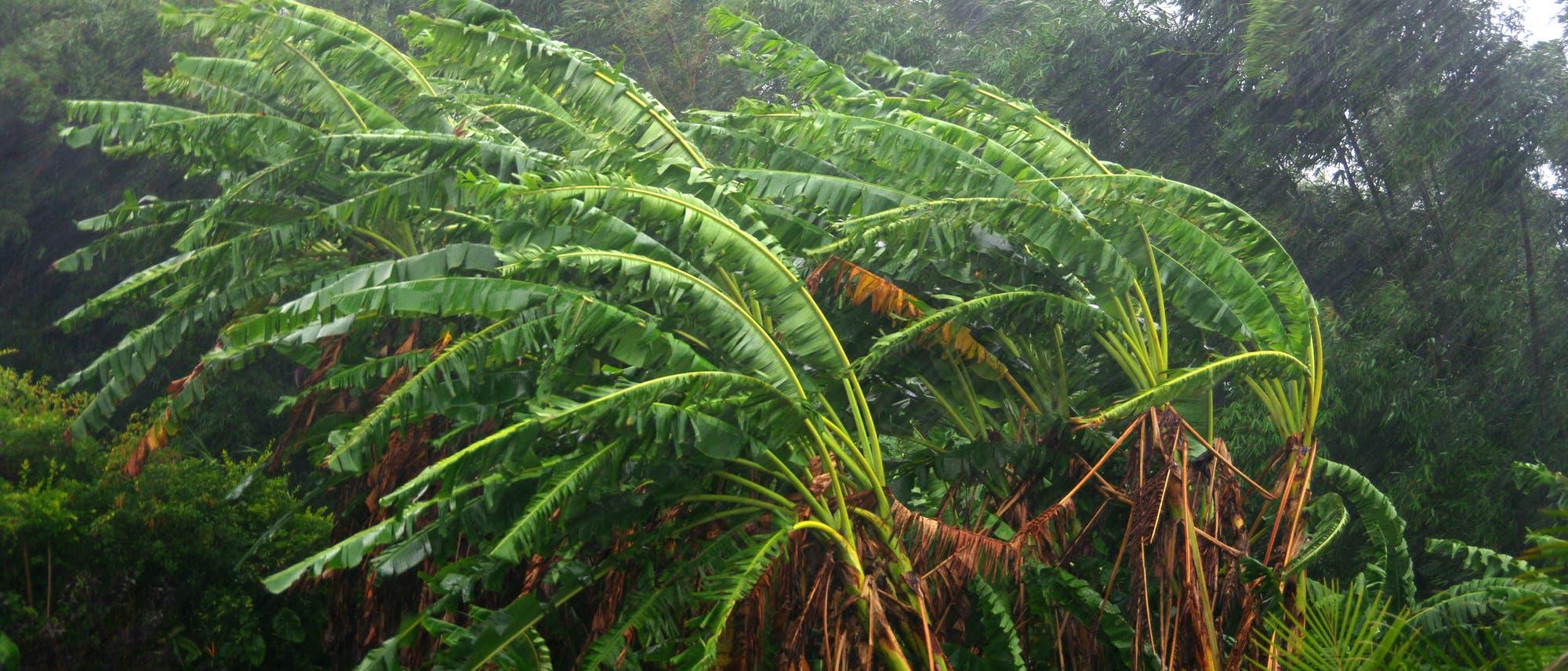 Zwei von starkem Wind gepeitschte Palmen vor dem Hintergrund eines tropischen Waldes.