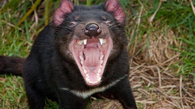 Der aggressive Raubbeutler soll zukünftig Katzen bekämpfen.