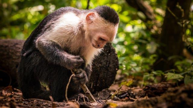 Affe mit Werkzeug