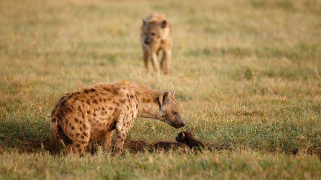 An der Spitze der Tüpfelhyänen-Hierarchie im Ngorongoro-Krater Tansanias stehen Weibchen.
