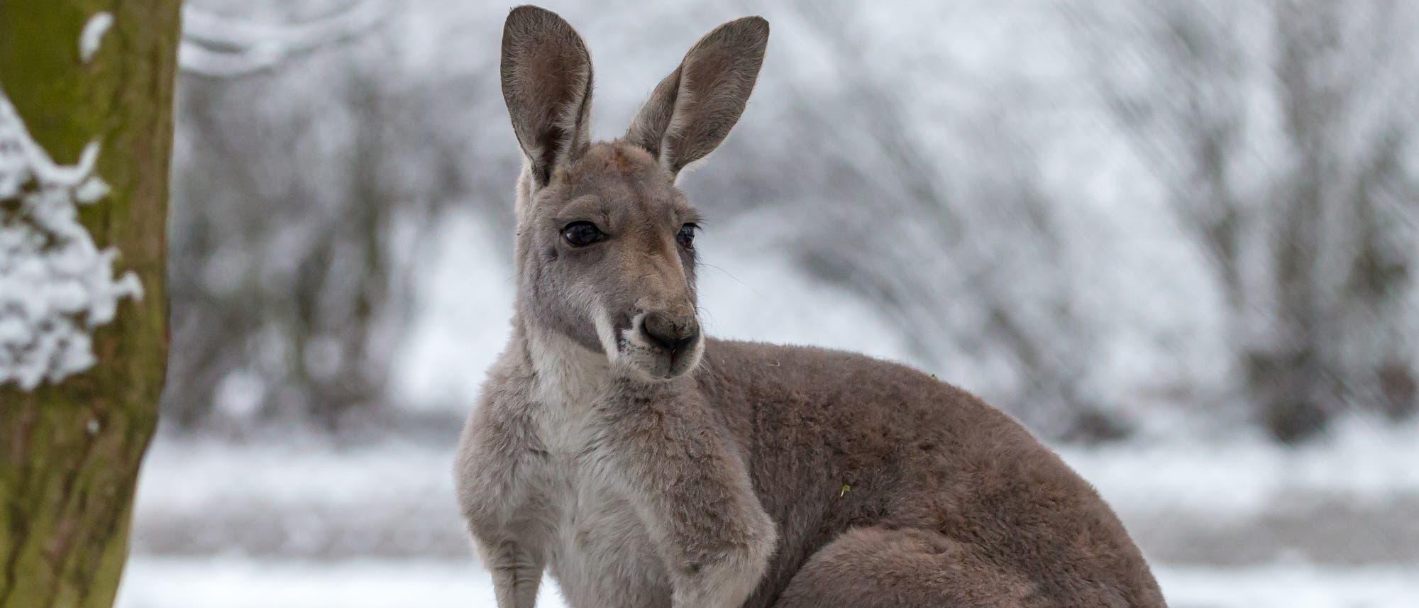 Ein Känguru im Schnee