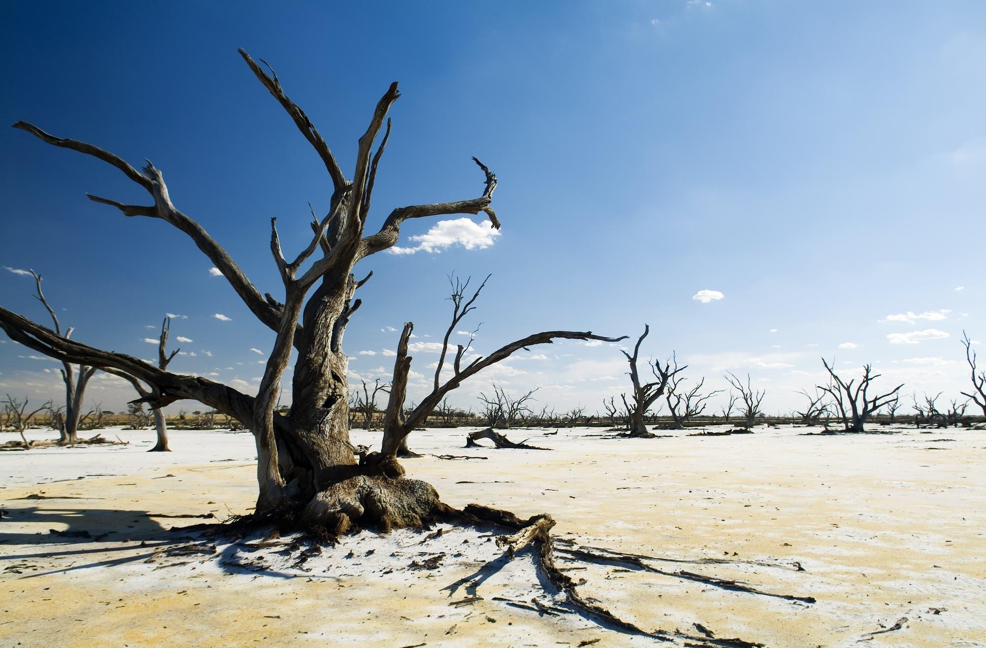 Vertrocknete Bäume in Australien