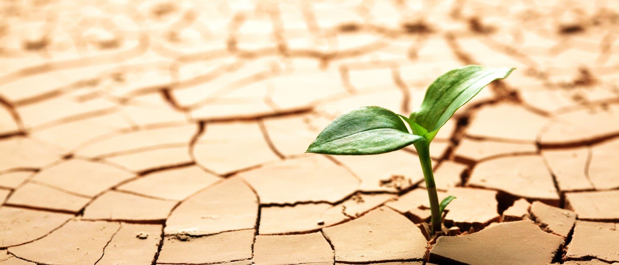Ein Keimling trotzt der Dürre