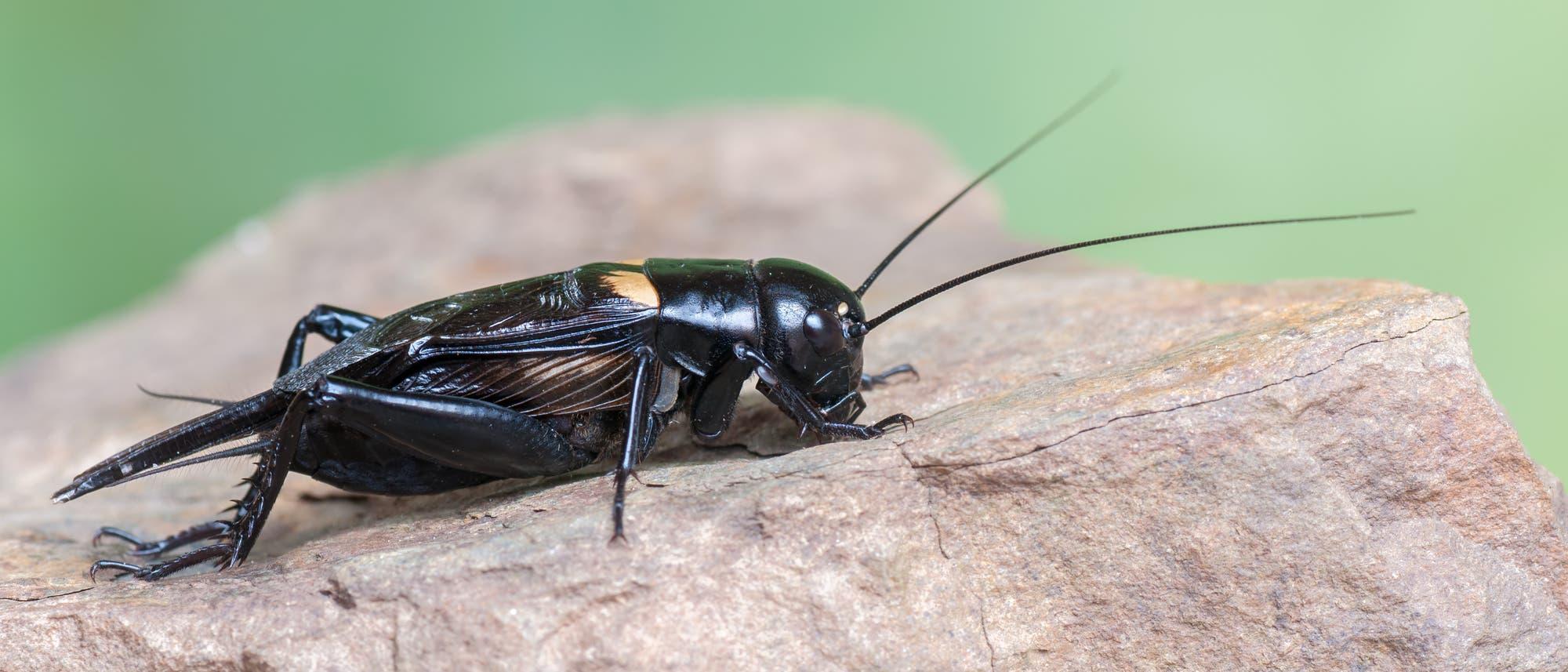 Männliche Feldgrillen (Gryllus bimaculatus) musizieren in der Nacht, um Weibchen anzulocken.