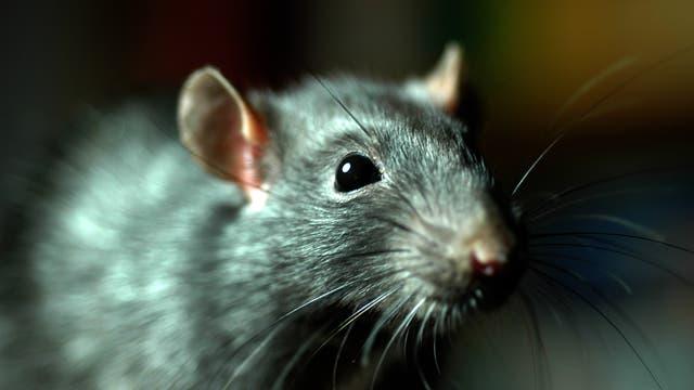 Ratten übertragen direkt die Pest