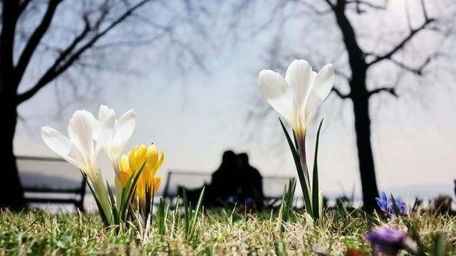 Krokusse blühen im Sonnenschein