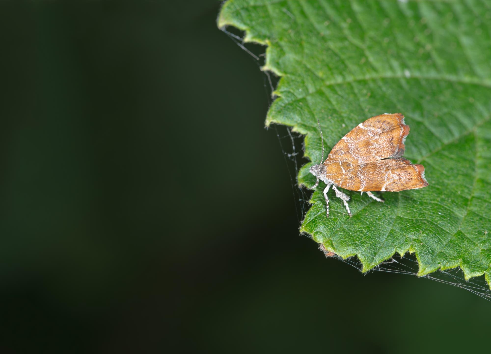 Die Raupen des Feigen-Spreizflügelfalters haben großen Appetit auf Blätter von Feigenbäumen.