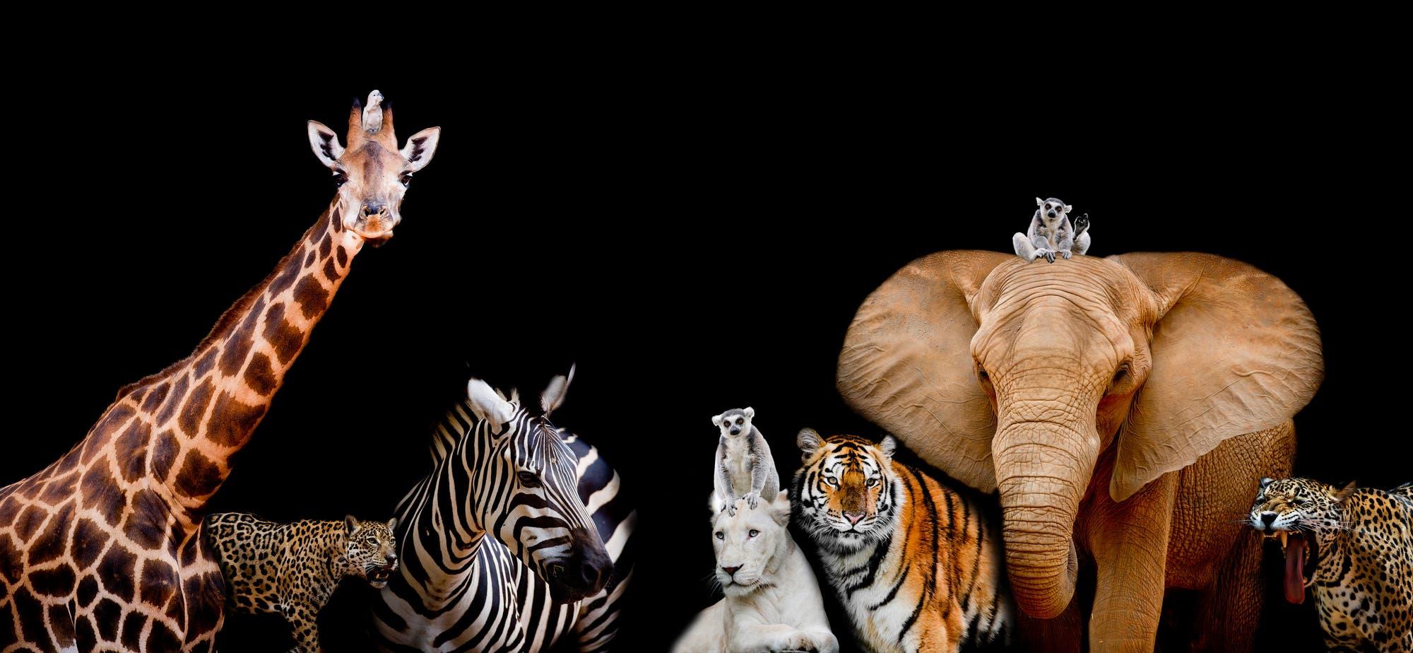 Afrikanische Megafauna vor schwarzem Hintergrund
