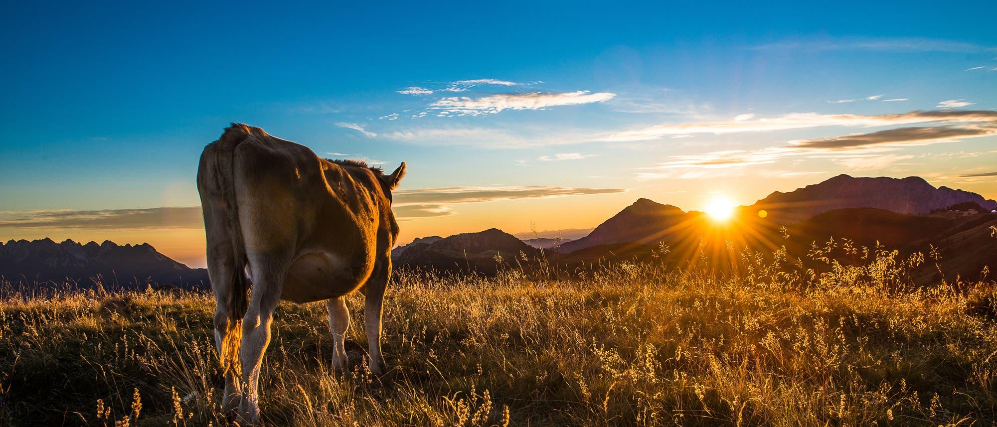 Kuh bei Sonnenuntergang