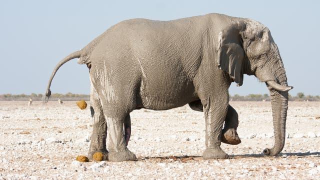 kotender Elefant
