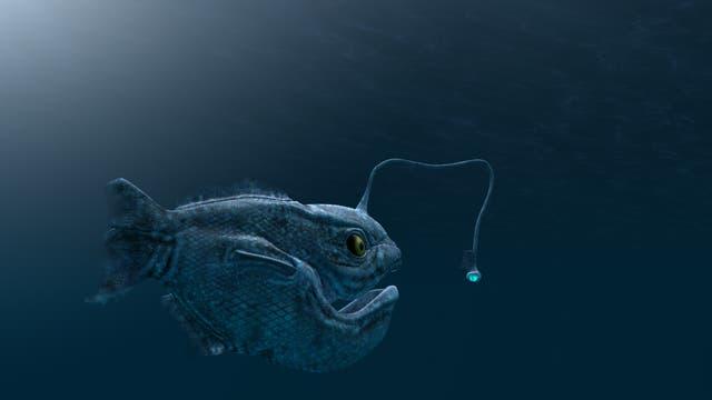 Tiefsee-Anglerfische kommen in den Weltmeeren in Tiefen unter 300 Meter vor.