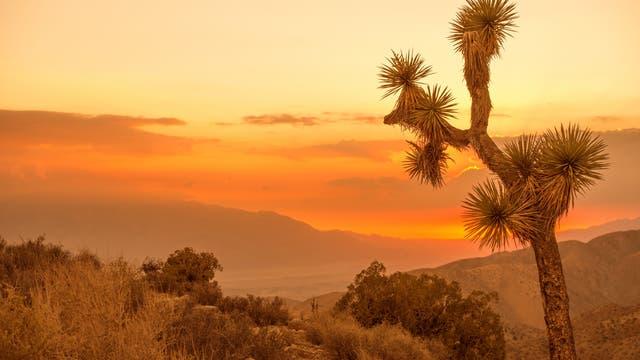 Joshua Trees in Kalifornien