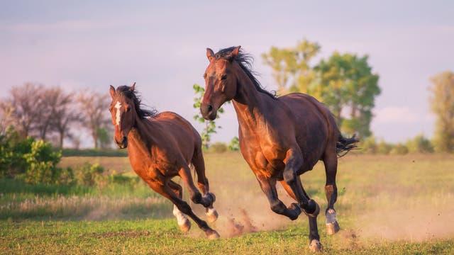 Zwei dunkelbraune Pferde laufen über Gras. Da gibt es ganz, ganz bestimmt auch Fachbegriffe für.