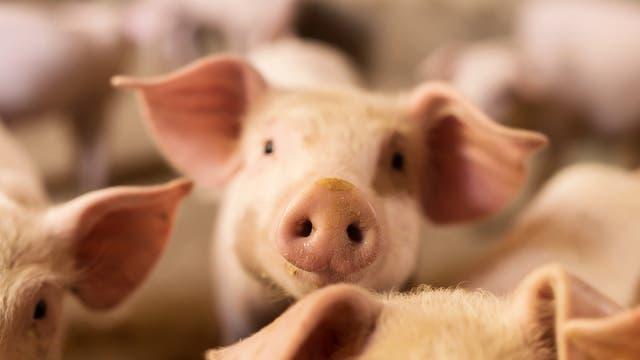 Ein Schwein von vielen in der Massentierhaltung