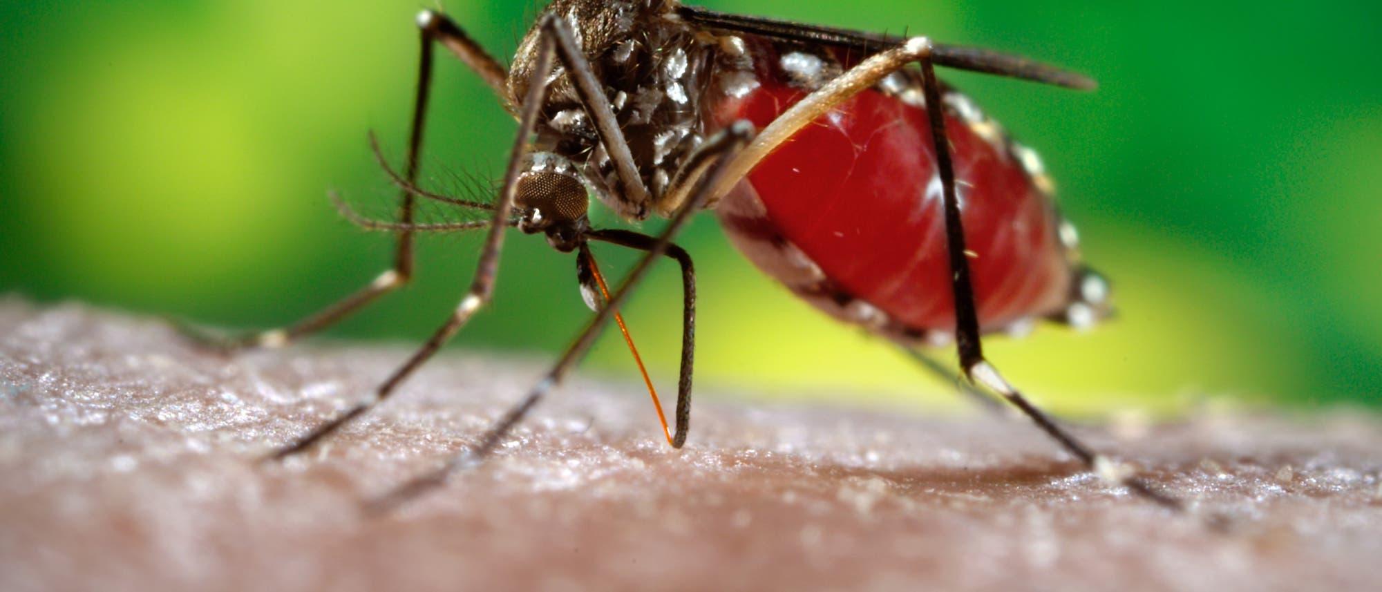Aedes ägypti Mücke überträgt Dengue-Fieber