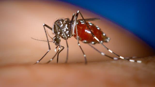 Aedes albopictus saugt