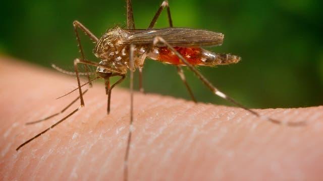 Mückenweibchen saugt Blut
