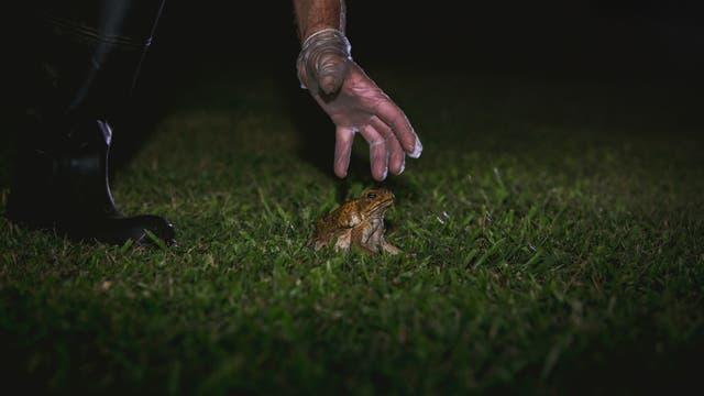 Eine eingeschleppte Aga-Kröte wird gefangen