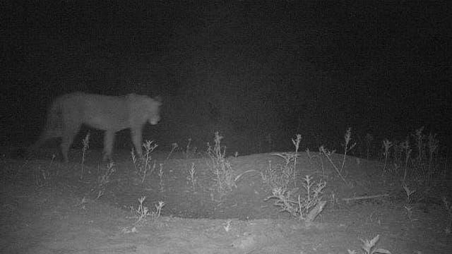 Löwin in der Kamerafalle