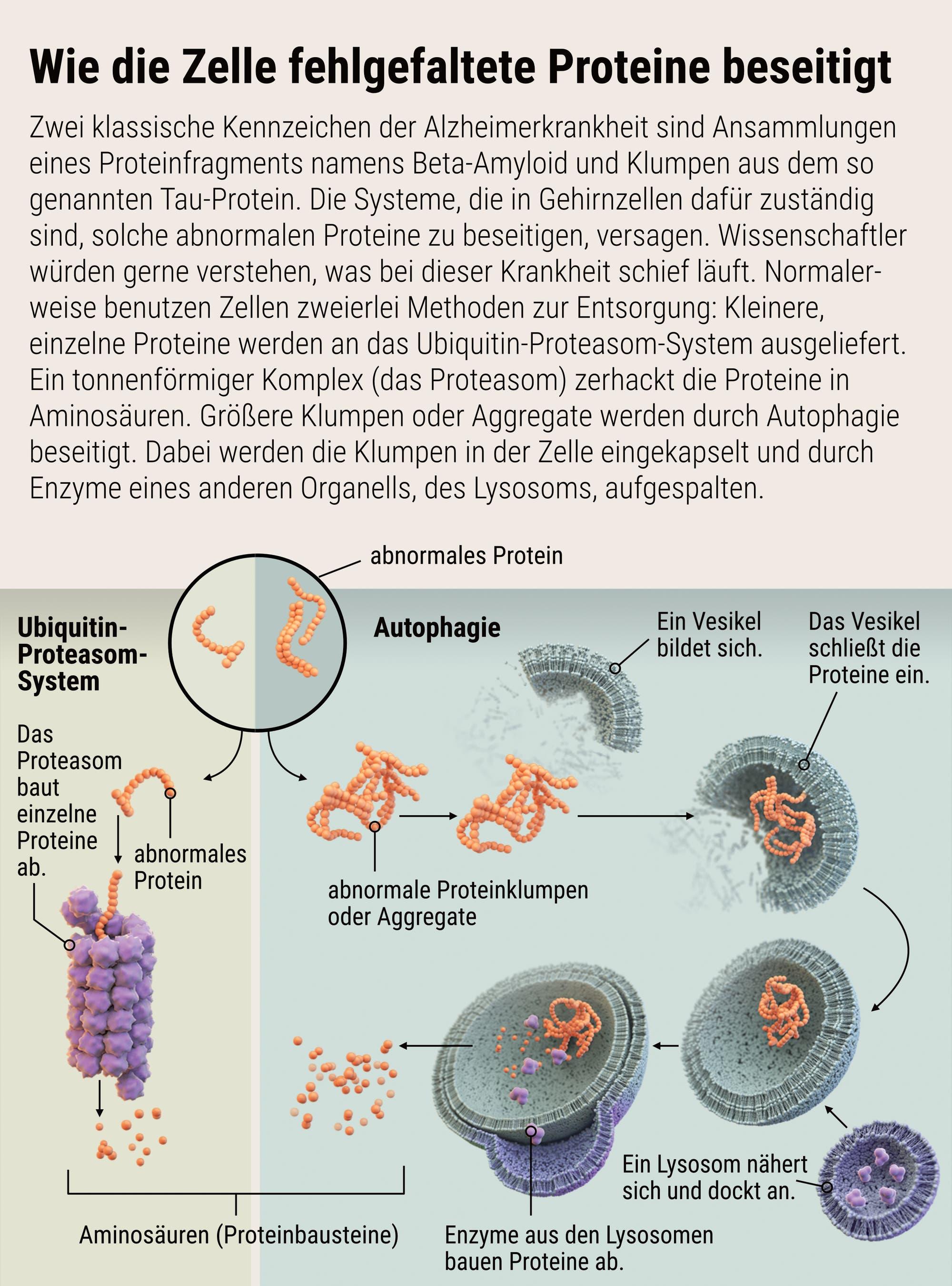 So wird die Zelle abnormale Proteine los – normalerweise jedenfalls.