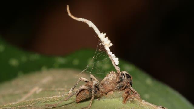 Hyperparasit liefert Seuchenschutz für Ameisenkolonien