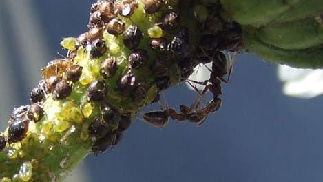 Schwarze Wegameisen mit einer Blattlauskolonie