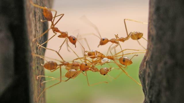 Kooperation bei Ameisen