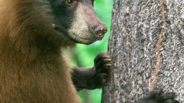 Wilder Schwarzbär