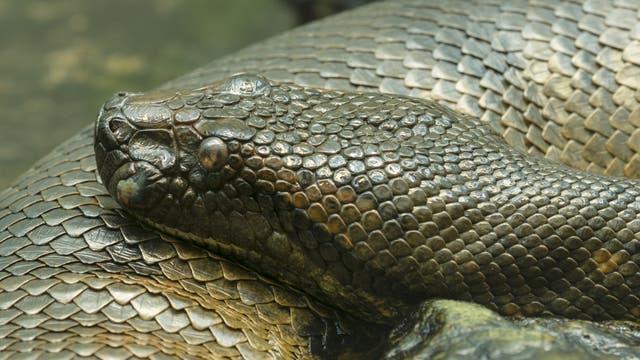 Die südamerikanischen Anakondas gehören zu den größten Riesenschlangen der Erde: Ausgewachsene Exemplare können sieben Meter und länger werden. Allerdings bedrohen Abholzung, illegaler Tierfank und Wilderei die Art.