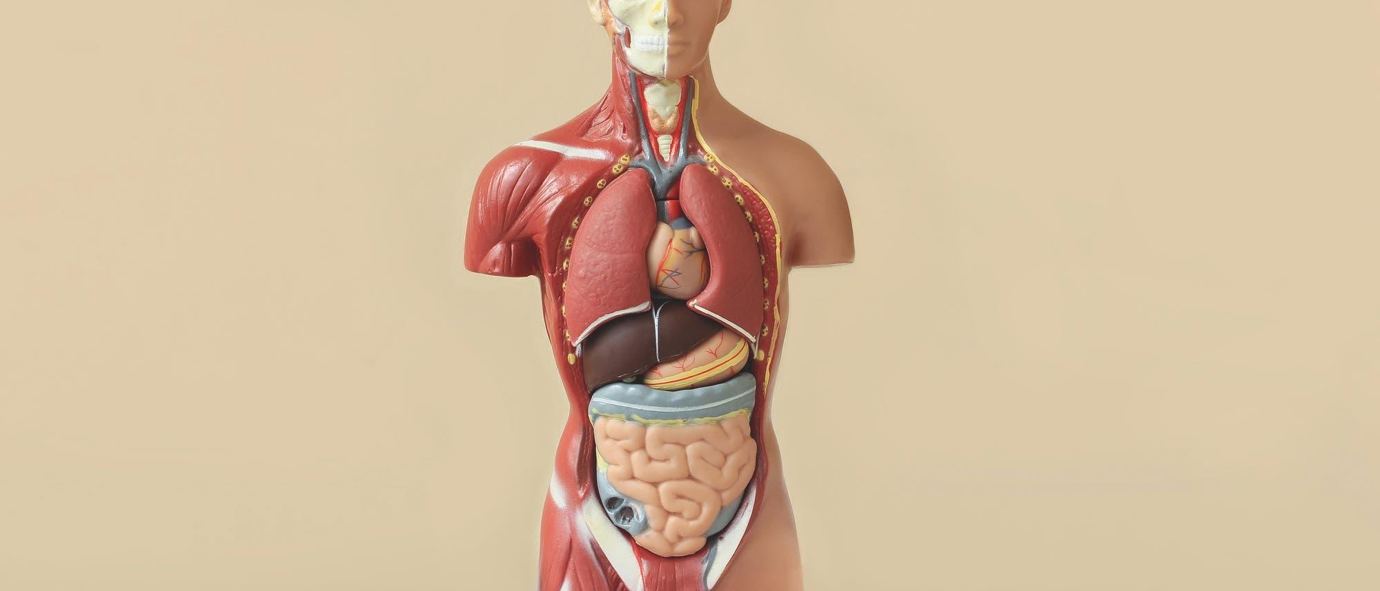Anatomiemodell