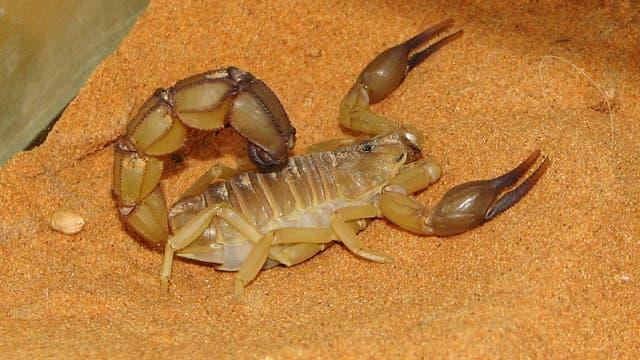 Gelber Sahara-Dickschwanzskorpion