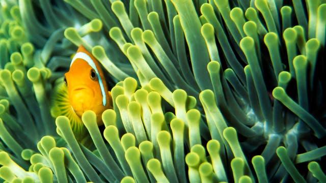 Anemonenfisch im Korallenriff