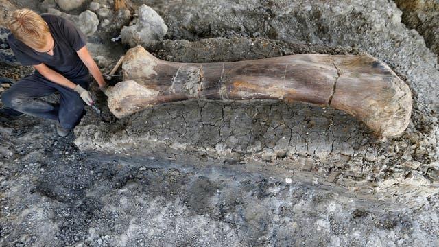 Femur eines Sauropoden aus Südwestfrankreich