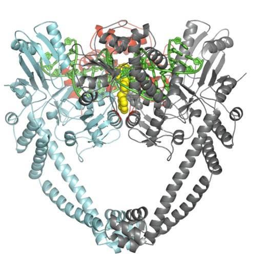 Topoisomerase, DNA und Antibiotikum