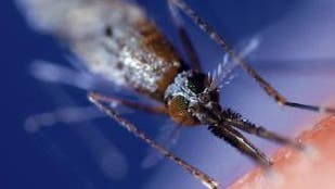 Malariamücke