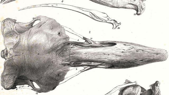 Schädel von Aptornis