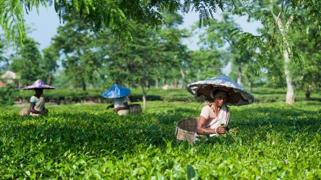 Assam Teepflückerinnen