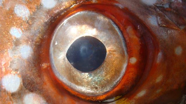 Das Auge eines Opahs