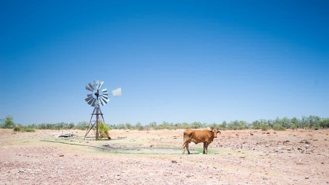 Kuh im Outback (Symbolbild)