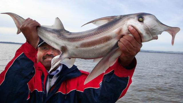 Fischer und Australische Pflugnasenchimäre (Hai)