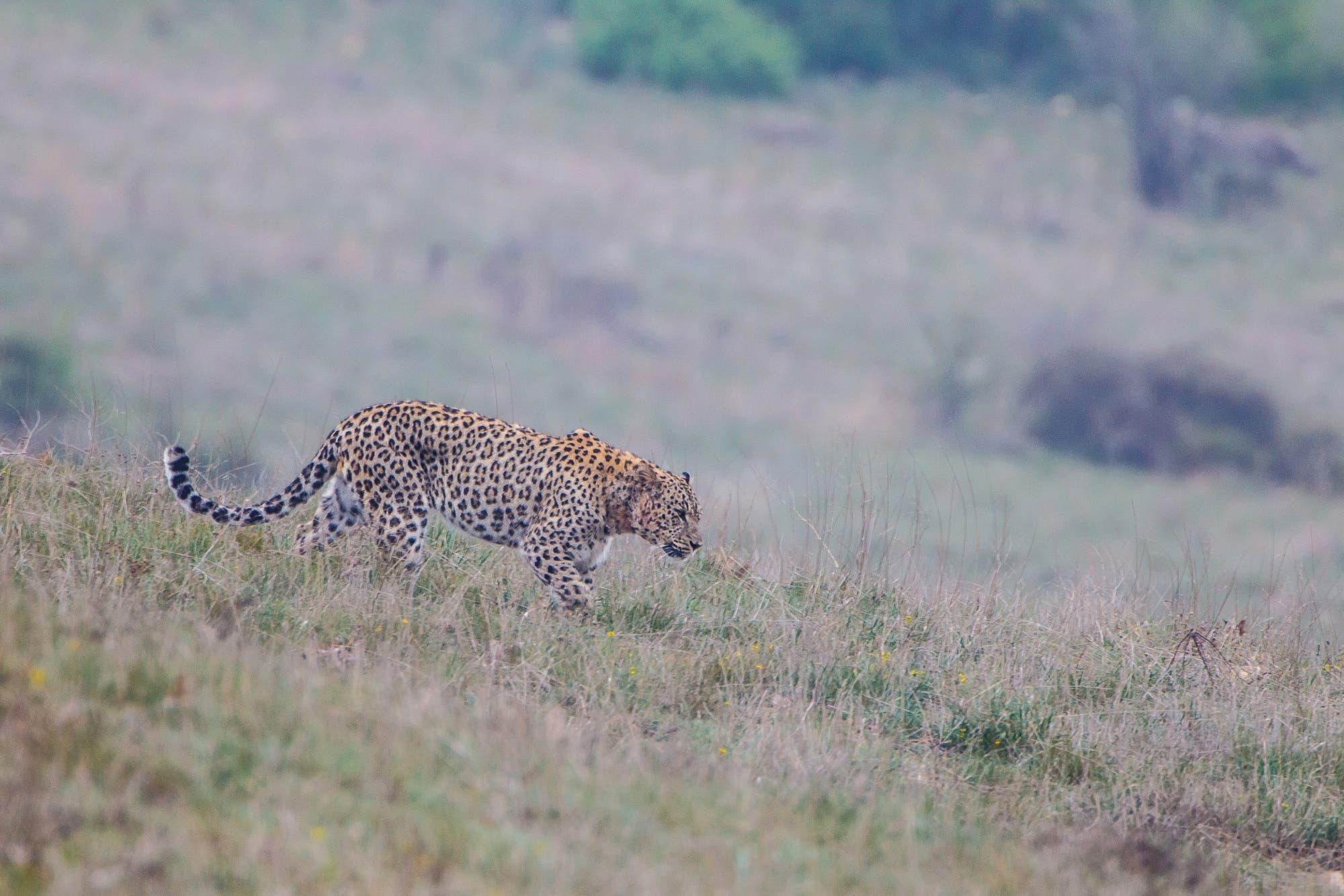 Ein männlicher Persischer Leopard patrouilliert in seinem Revier im iranischen Golestan-Nationalpark.