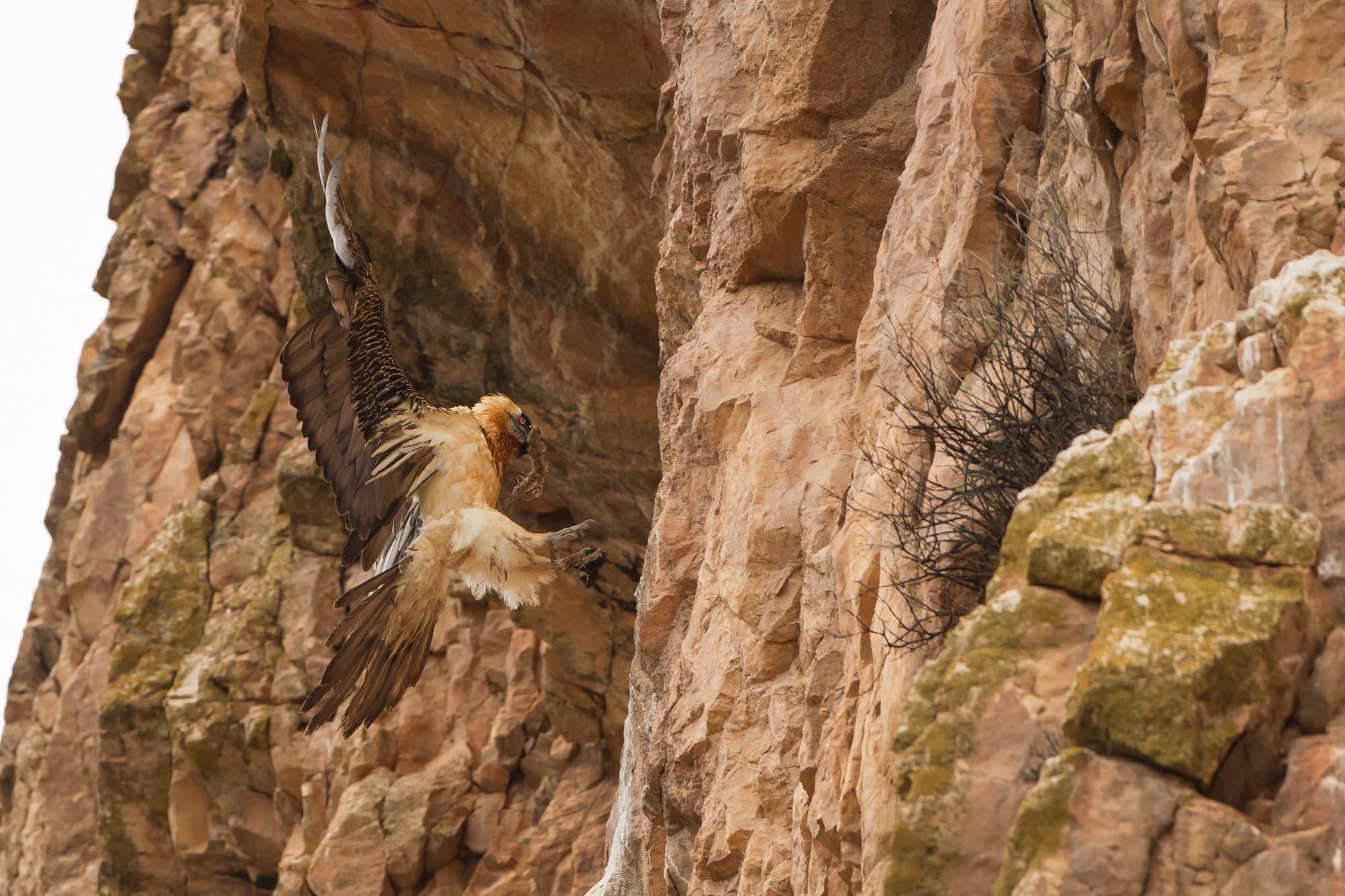 Bartgeier (Gypaetus barbatus) im Iranischen Golestan-Nationapark