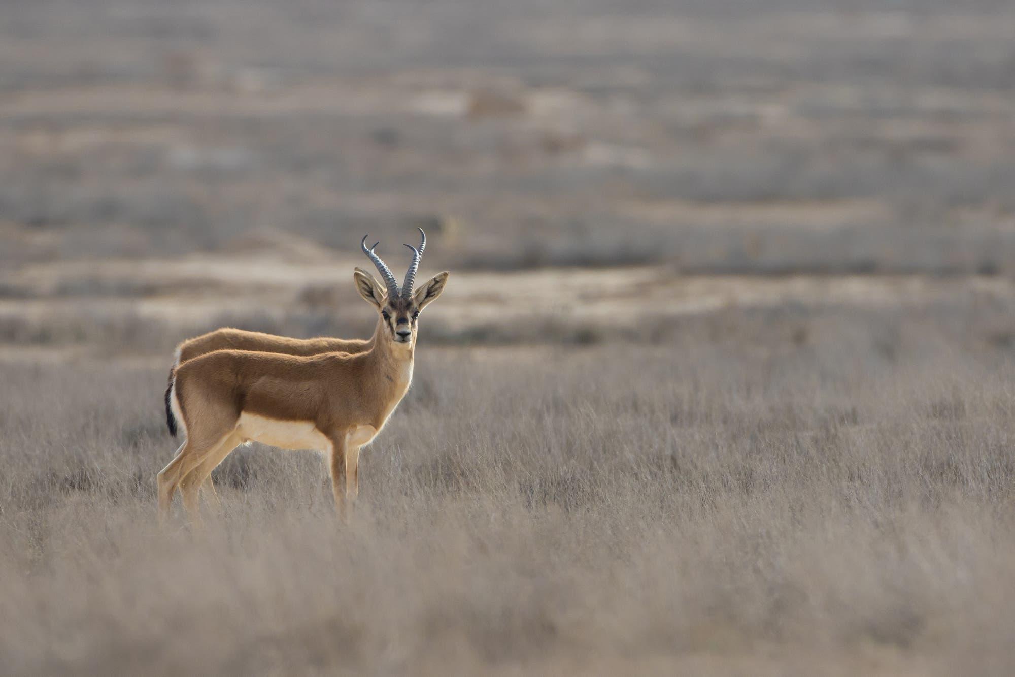 Kropfgazellen (Gazella subgutturosa) im iranischen Golestan-Nationalpark