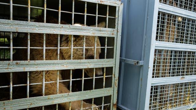Braunbär hinter Gittern.