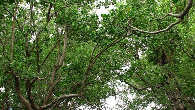 Mangroven als Küstenschutz