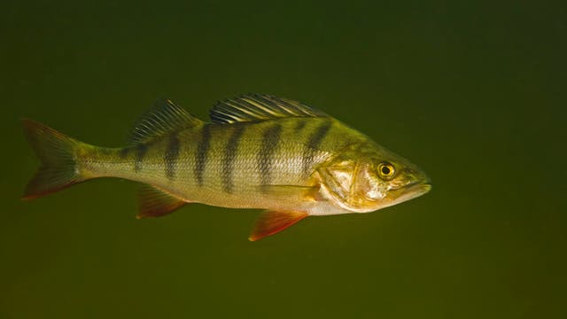 Flussbarsch <em>(Perca fluviatilis)</em>