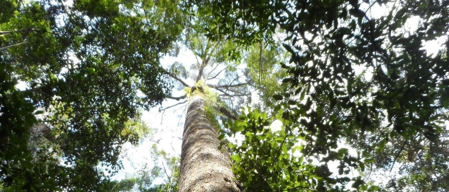 Der Gelbe Merantibaum im Norden Borneos ist der höchte Baum der Tropen.
